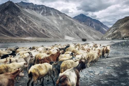 Livestock herd in a mountain valley